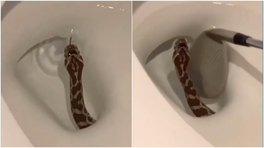 民眾驚見有蛇從馬桶探出頭。(圖/Twitter @paytonmalonewx) 「生猛」從馬桶水面探出頭! 蛇吐舌信嚇壞人