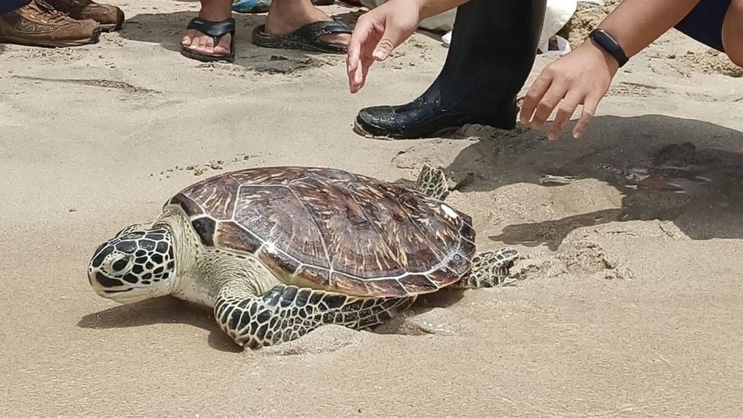 (圖/中央社) 野放海龜重返大海 全國海洋教育成果展澎湖登場