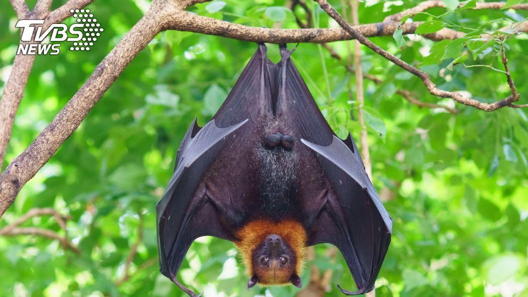 蝙蝠驗出麗莎病毒。(示意圖/shutterstock 達志影像) 基隆蝙蝠驗出「麗沙病毒」 防檢局籲勿接觸野生動物