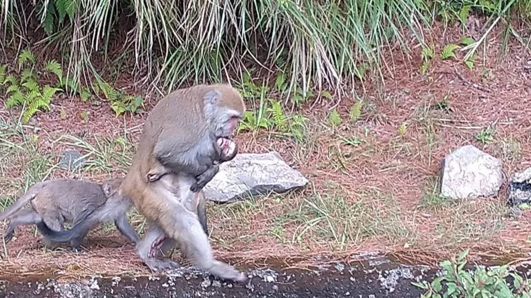 母猴緊抱因車禍死亡的幼猴。(圖/翻攝自「玉山國家公園」粉絲專頁) 不捨放手!幼猴遭路殺 母猴緊抱冰冷遺體5天