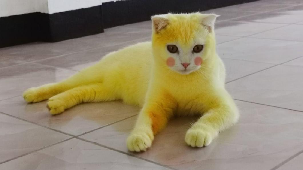最近網路上有一隻貓咪爆紅,牠身上金黃色的毛色,像極了經典動漫皮卡丘。(圖/翻攝自臉書) 愛貓染黴菌擦薑黃治療 化身「皮卡丘喵」全球爆紅