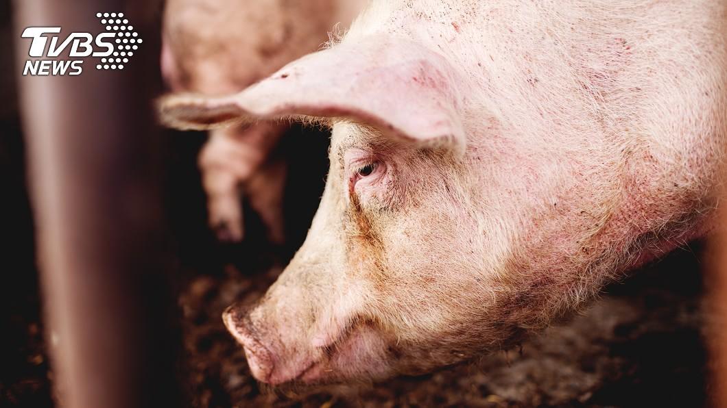 中國大陸計畫於阿根廷設立養豬場補足供應短缺。(示意圖/shutterstock達志影像) 阿根廷環團拒建陸資養豬場 合作協議延期簽署