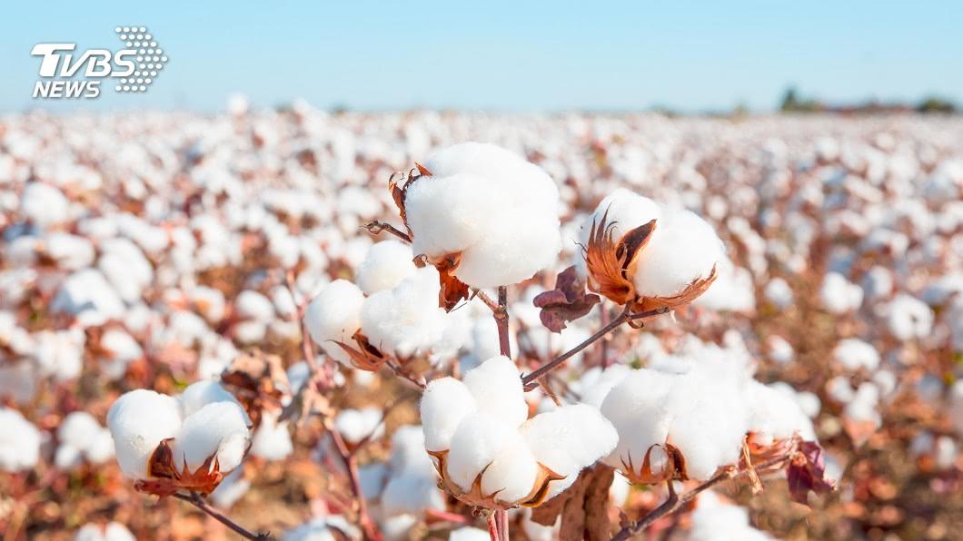 英批陸強迫勞動新疆維吾爾族種植棉花。(示意圖/shutterstock 達志影像) 傳英外相將提方案 禁止進口新疆強迫勞動產品
