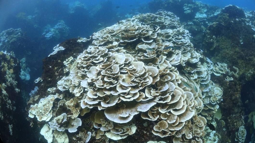 (圖/蔡永春提供) 白化20年來最嚴重 氣溫降墾丁珊瑚現生機