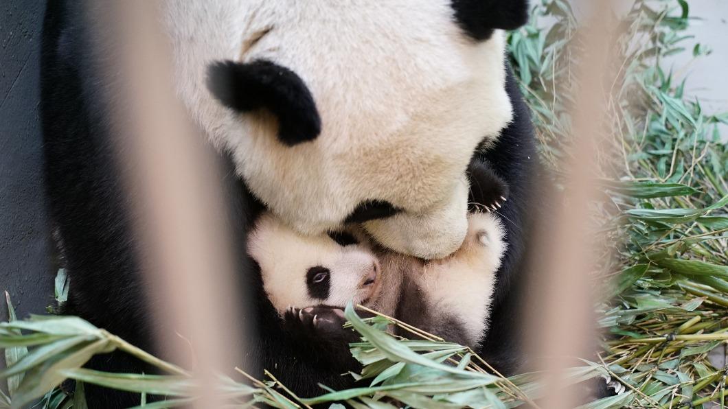 (圖/台北市立動物園提供) 大貓熊愛刷毛伺候 「圓寶」有專屬媽媽美容師