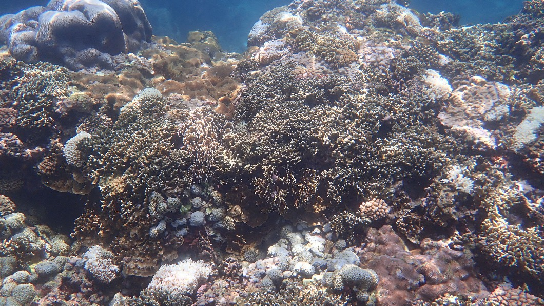 花蓮石梯坪珊瑚白化嚴重。(圖/中央社,教練Candy提供) 高溫、觀光人潮暴增所致! 花蓮石梯坪珊瑚白化加劇