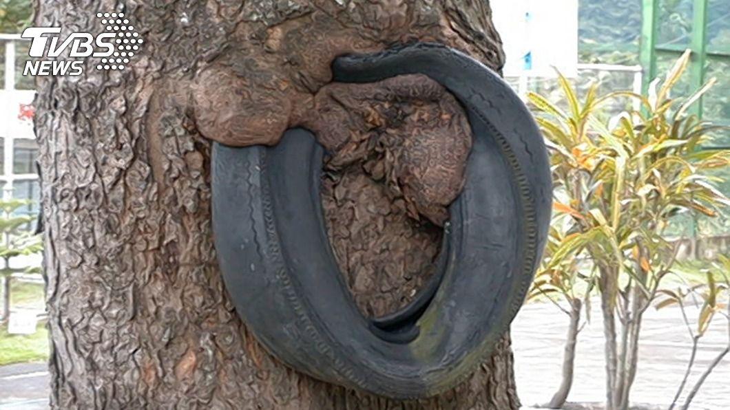 紅葉少棒輪胎用途於訓練臂力強度。(圖/紅葉國小提供) 紅葉少棒傳奇輪胎被樹「吞噬」 走入歷史精神不滅