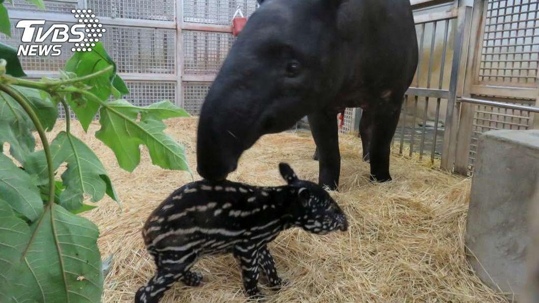 馬來貘「貘芳」順利產下小仔。(圖/中央社) 生了!台北布拉格聯姻報喜 定情物馬來貘首胎產子