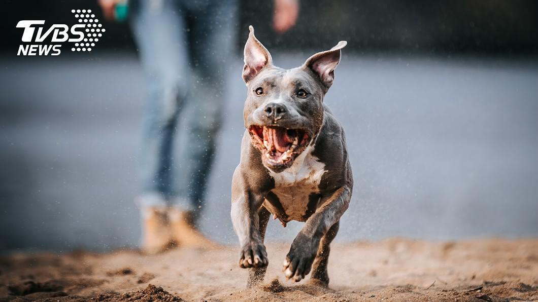 比特犬攻擊事件頻傳 專家:具鬥犬血統更具攻擊性!