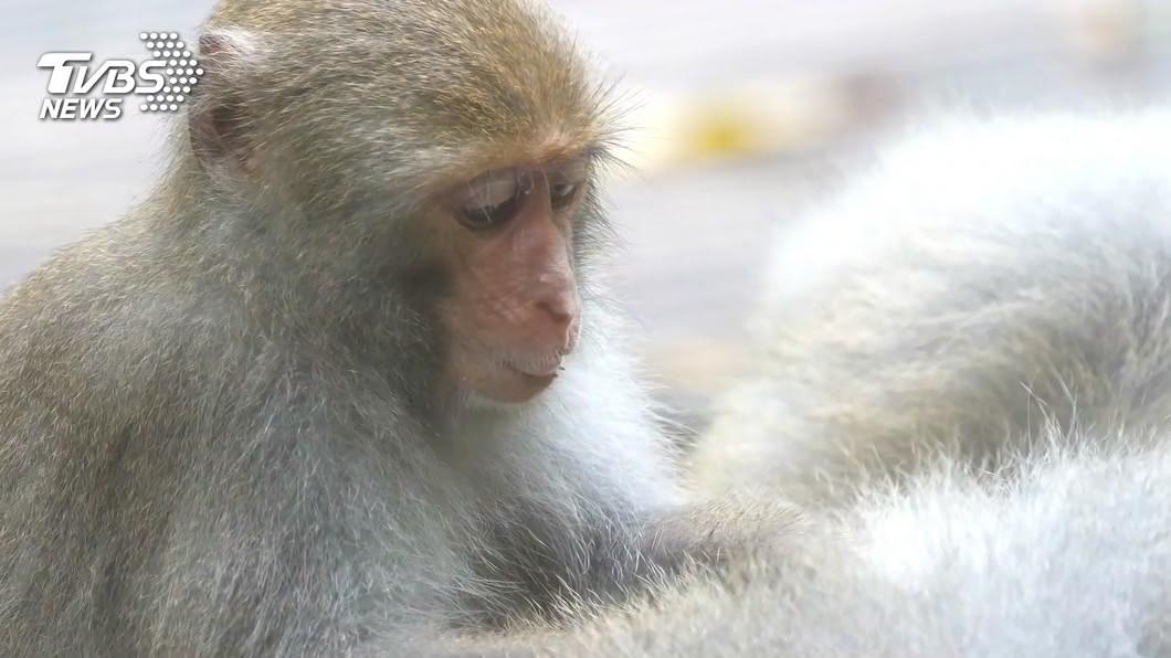 圖/TVBS資料畫面(非當事獼猴) 3歲小公猴遭「捕獸夾」斷趾 壽山國家公園虐待動物罰3千元