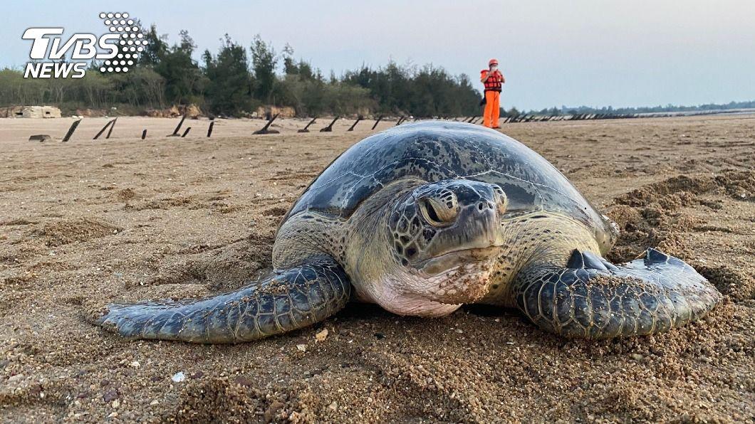 (圖/中央社) 擱淺金門綠蠵龜體力好轉 將適時放流重返大海