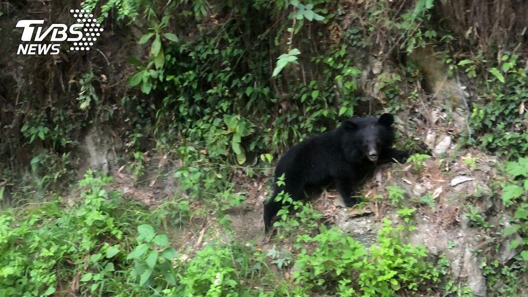 (圖/中央社) 黑熊又現蹤南橫溪谷 林務局籲食物廚餘勿放戶外