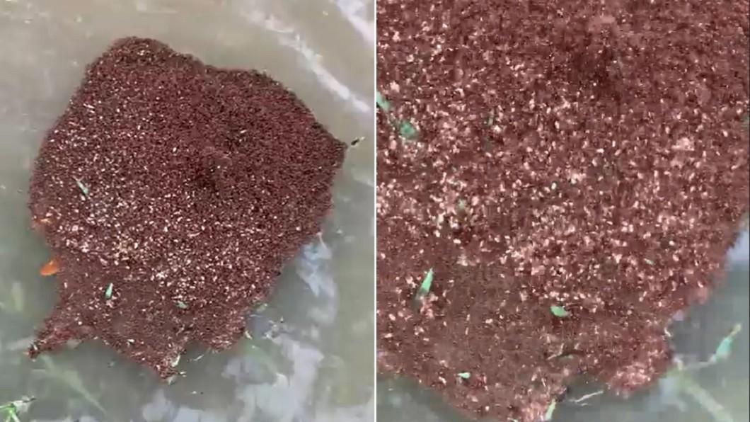 水面漂浮的紅色物體,真實身分是紅螞蟻。(圖/翻攝自LeagueCityTX推特) 水面驚「蠕動紅肉塊」行走!一碰到…50萬隻奔啃奪命