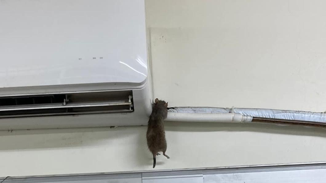 網友將掛在冷氣電線上的老鼠屍體PO上網。(圖/翻攝自爆廢公社臉書) 冷氣停止...抬頭驚見焦屍高掛 網笑:皮卡丘轉職失敗?