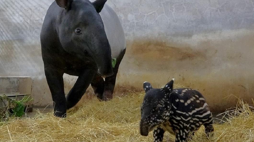 圖/翻攝自台北市立動物園臉書 馬來貘寶寶命名大戰! 動物園提「超鬧2字」迎戰乾爹