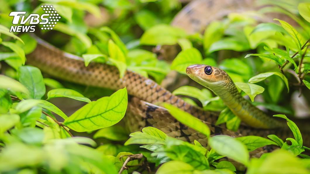 許多人怕蛇。(示意圖/shuttetstock達志影像) 現實版「貪食蛇」?強迫症直角扭身 網笑:第一次看到耶