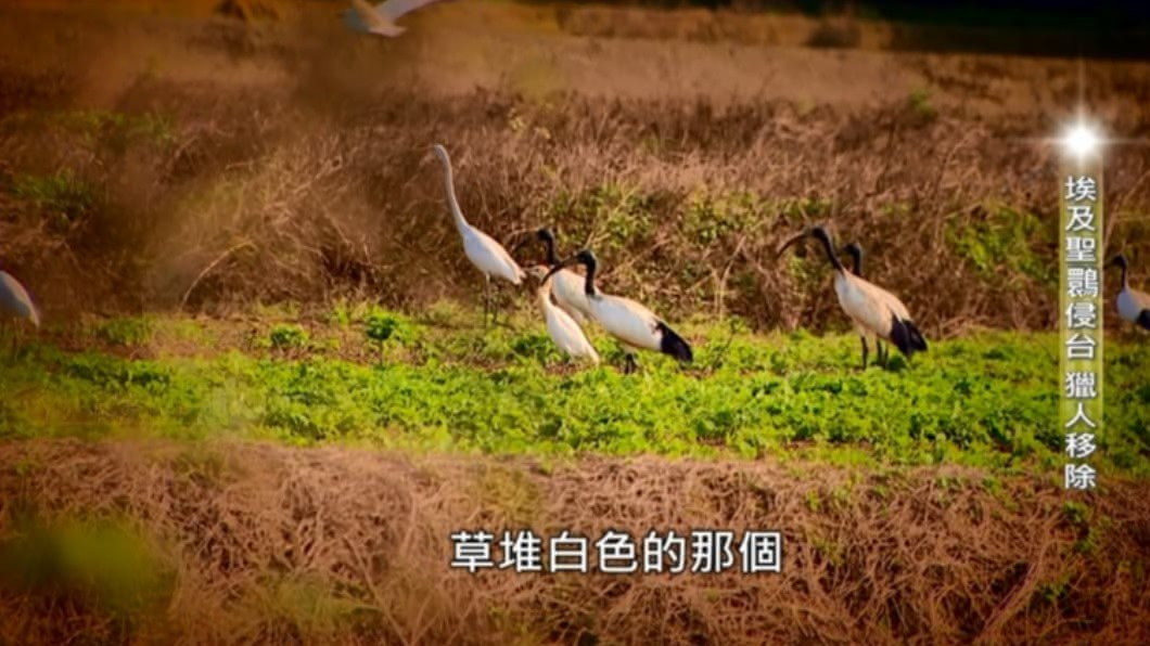 2020第四屆全球華文永續報導獎,專業組短影片類首獎,由臺灣電視事業股份有限公司「聖鳥變剩鳥-埃及聖䴉在台悲歌」 聖鳥變剩鳥-埃及聖䴉在台悲歌