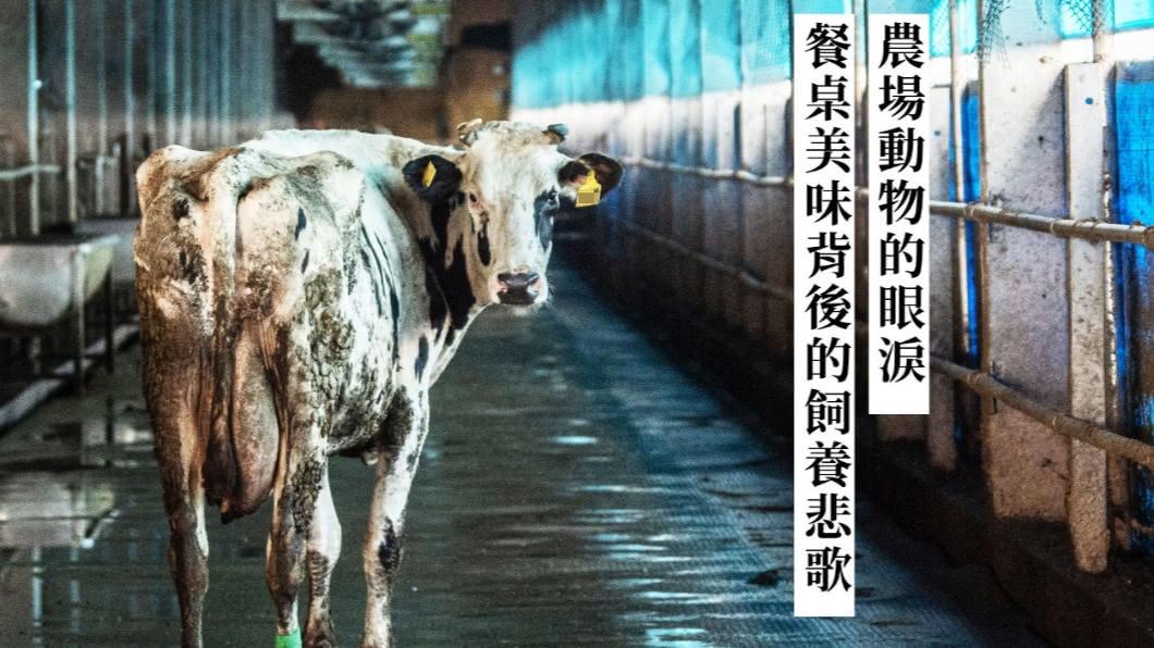 2020第四屆全球華文永續報導獎,專業組融媒體類首獎,由聯合報系「農場動物的眼淚:餐桌美味背後的飼養悲歌」 農場動物的眼淚:餐桌美味背後的飼養悲歌