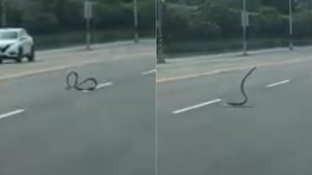 大蛇在馬路上狂扭。(圖/翻攝自臉書粉專「吃喝玩樂」) 屏東驚見1m大蛇「路上狂舞」 內行看了鼻酸:牠在求救
