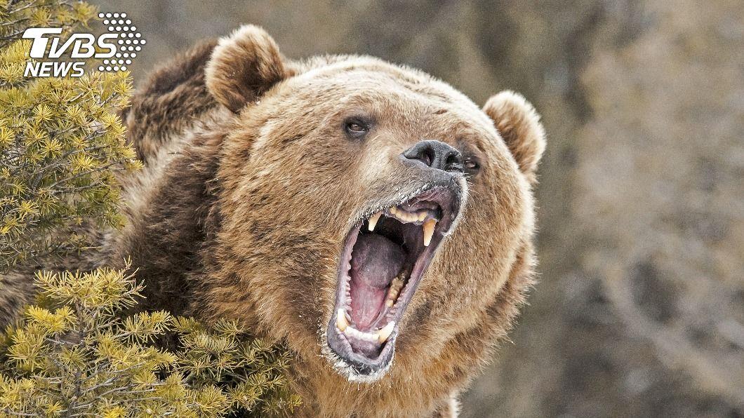 男子慘遭灰熊攻擊咬死。(示意圖/shutterstock 達志影像) 灰熊恐怖!男森林打獵顧收屍 慘成巨熊獵物被咬死