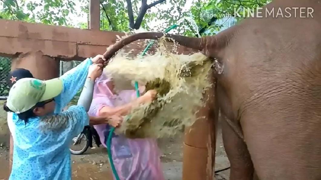 老象「黃金瀑布」幫獸醫洗臉。(圖/翻攝自Samui Elephant Sanctuary臉書) 幫便秘老象灌腸…3獸醫遭「黃金瀑布」噴臉 畫面曝光超衝擊
