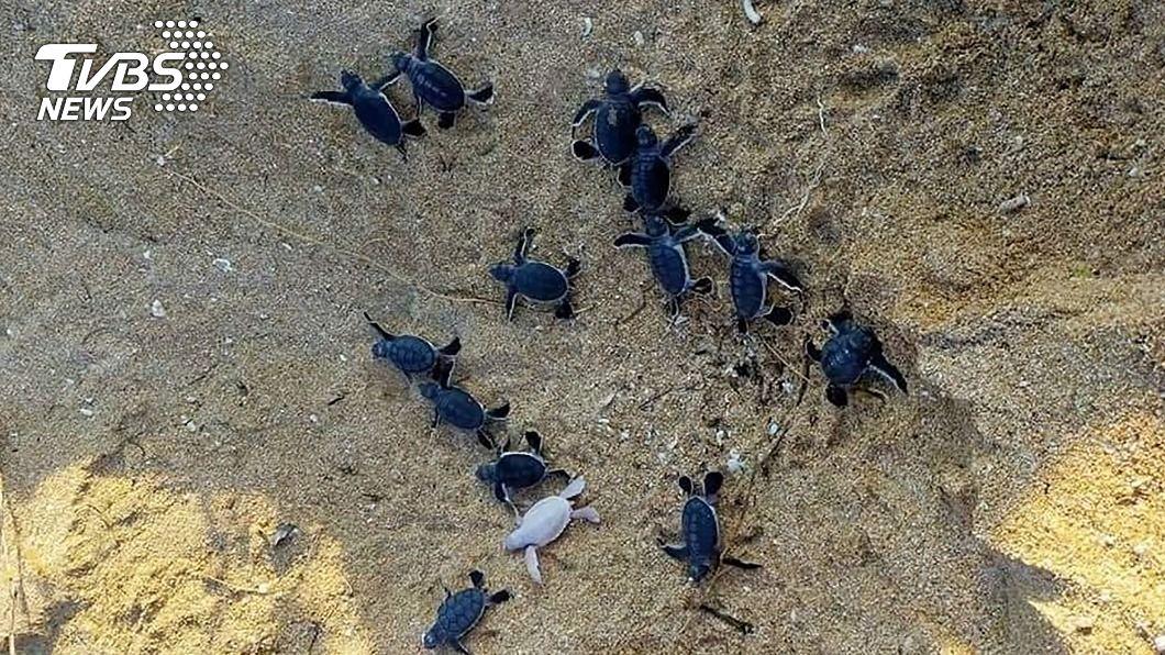 澎湖綠蠵龜產卵棲息保護區,首見白化小龜。(圖/中央社) 澎湖綠蠵龜產卵棲息保護區 首見白化小龜