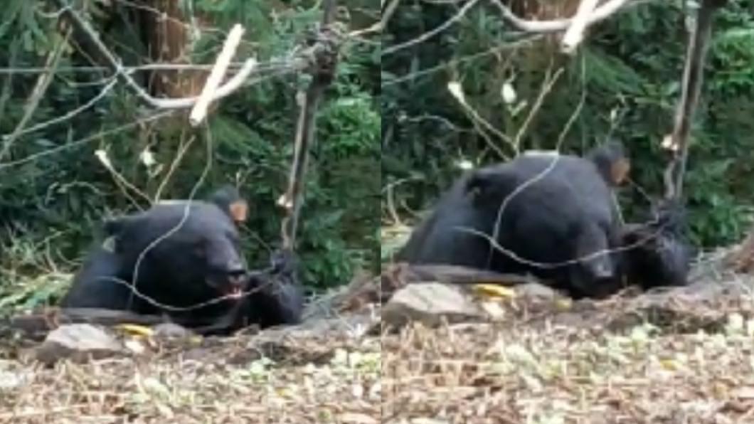台灣黑熊受困農友設置的陷阱。(圖/民眾提供) 台灣黑熊誤觸陷阱遭困 不停哀號、掙扎嘴巴流滿血