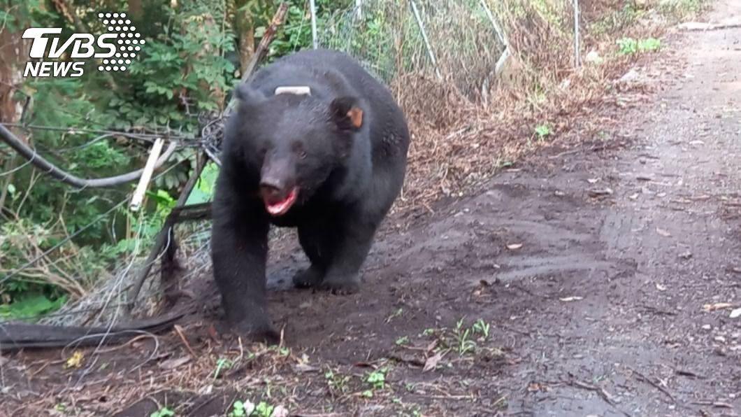 日前一隻台灣黑熊誤中果園陷阱受傷,林管處表示因農民有及時通報不會開罰。(圖/中央社) 黑熊中陷阱獲救傷勢穩定 農民「及時通報」不罰