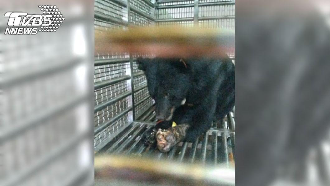 誤闖果園陷阱獲救的黑熊,經過療養後情緒穩定食慾大增。(圖/中央社) 獲救後食慾好!台灣黑熊誤入陷阱 最愛食物是它