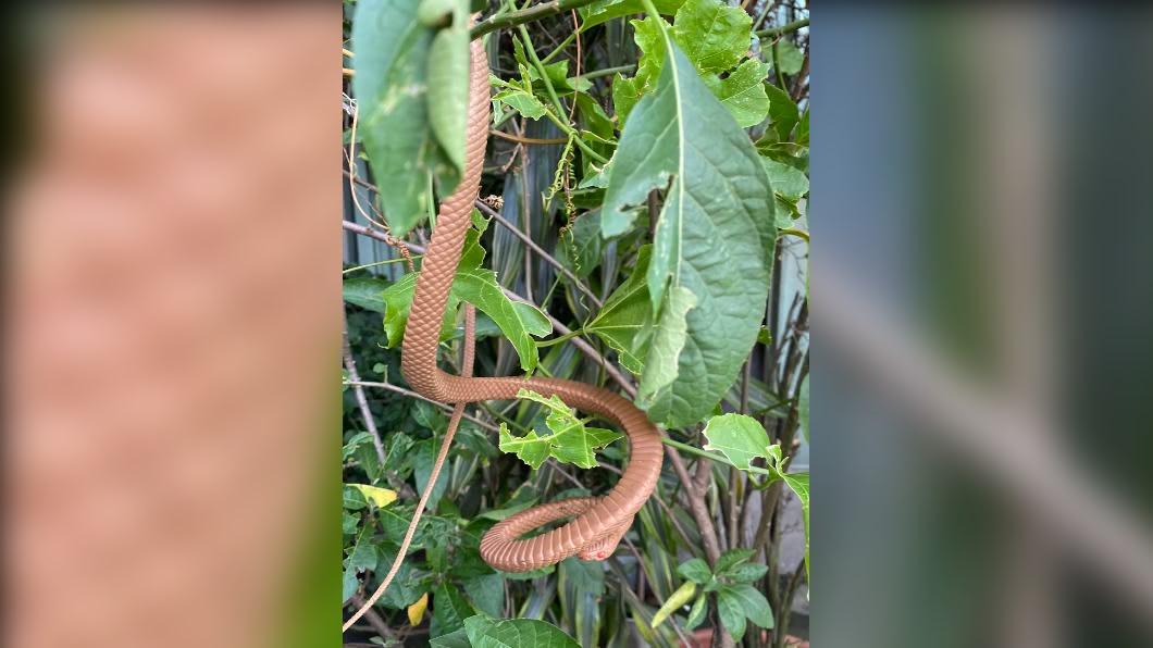 (圖/新北動保處) 紅眼大蛇盤樹上!五股居民「發抖躲屋內」 專家到場傻了