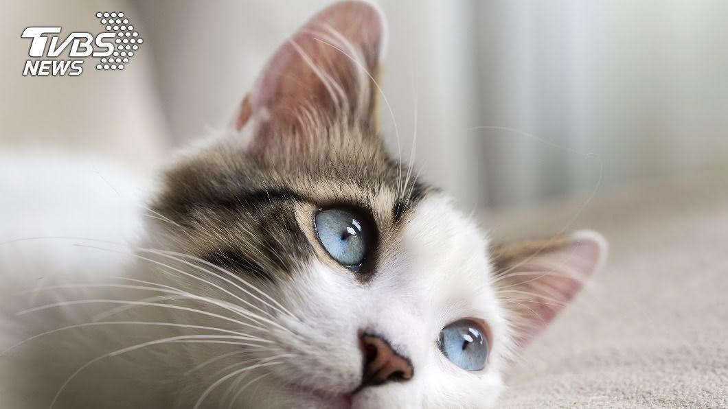 一對夫妻在網上買品種貓,卻惹禍上身。(示意圖/shutterstock 達志影像) 砸20萬買品種貓換來「幼虎」 夫妻慘遭警方逮捕