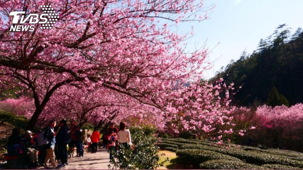 武陵農場明年櫻花季適逢農曆春節。(圖/中央社) 搶睹武陵農場「櫻姿」 開放訂房、交管時間出爐