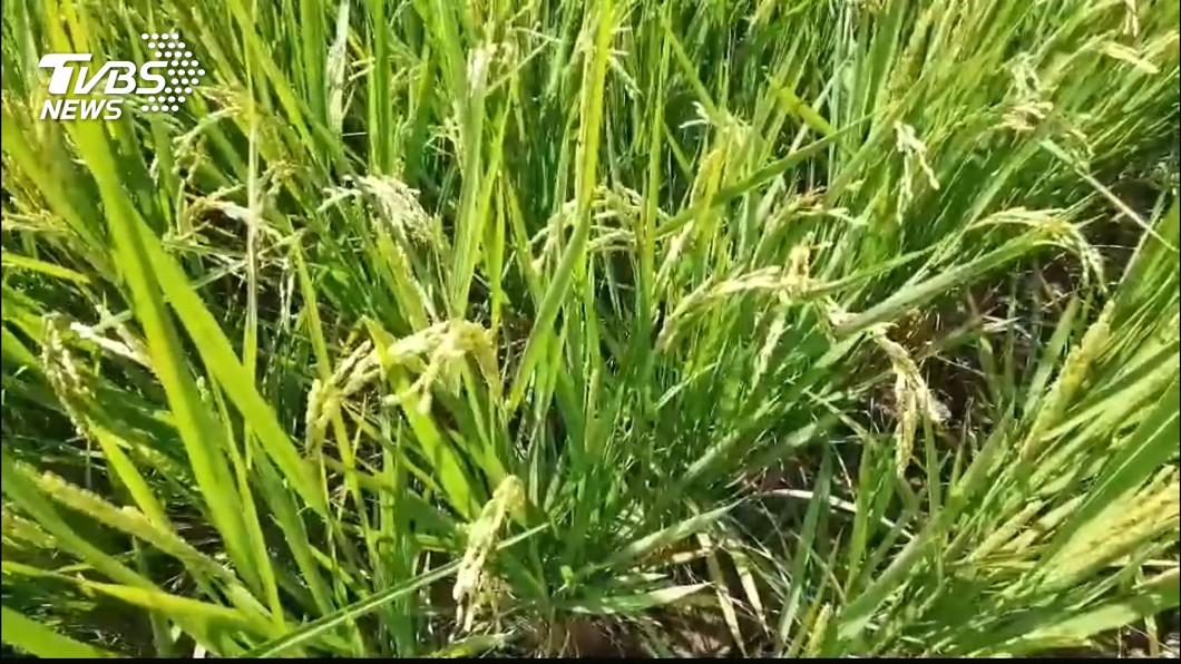 今年水情不佳,桃竹苗灌區1.9萬公頃農田將停灌。(圖/TVBS) 「等不到一場大雨」 經濟部揭桃竹苗停灌決策