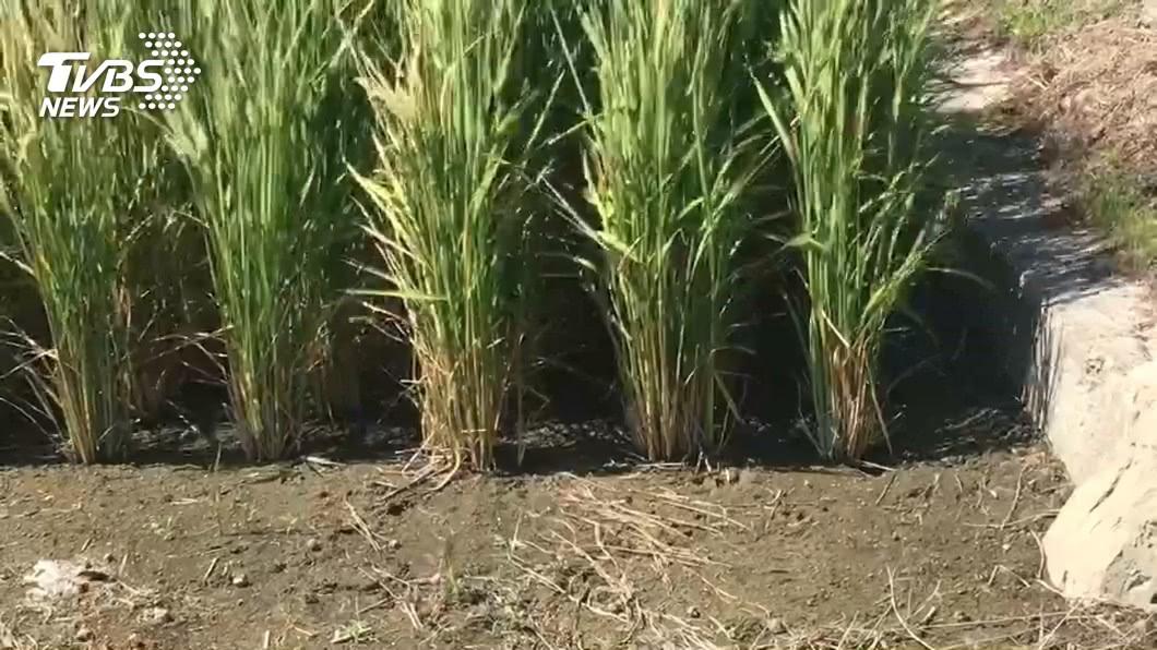 桃竹苗二期水稻停灌。(圖/TVBS) 農陣戰友反停灌 陳吉仲:抗旱更重要將公布對策