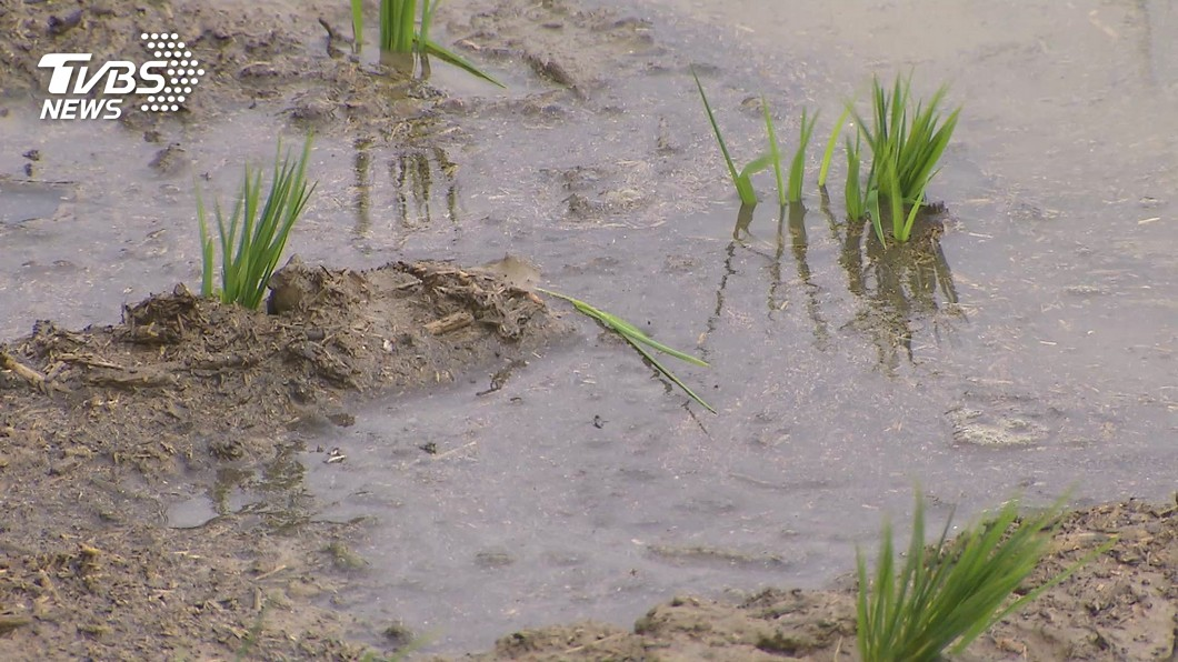 台灣部分地區稻作將先後停灌節水。(圖/TVBS) 20年最明顯乾旱停灌 農委會:將祭節水措施