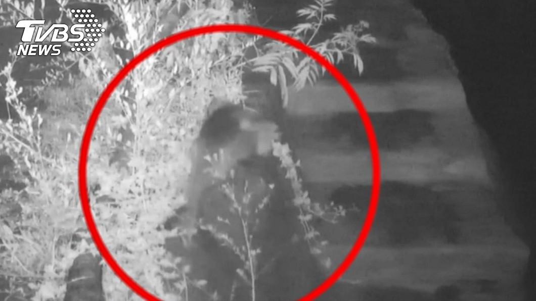 小食蟻獸「小紅」揹著寶寶「紅豆」游出欄舍逃跑。(圖/TVBS) 大脫逃!北市動物園「食蟻獸揹寶寶游出欄舍」開溜失蹤