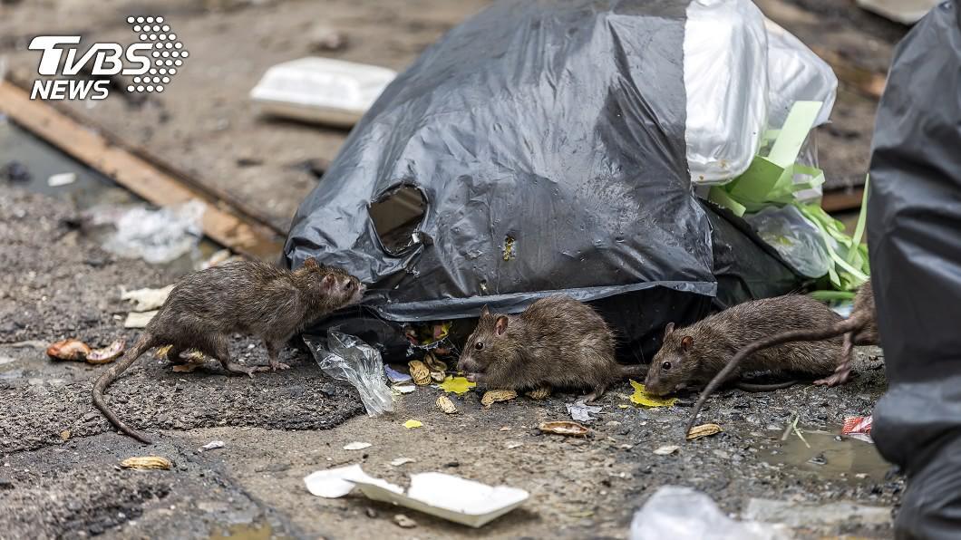 老一輩都說,老鼠要取代號才抓得到。(示意圖/shutterstock達志影像) 抓老鼠惦惦!阿嬤神招「牠聽懂人話」 內行曝:代號吱吱
