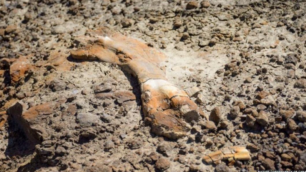 男童發現6900萬年前的恐龍化石。(圖/翻攝自加拿大大自然保護協會) 男童登山見恐龍化石 考古團隊查證:6900萬年前