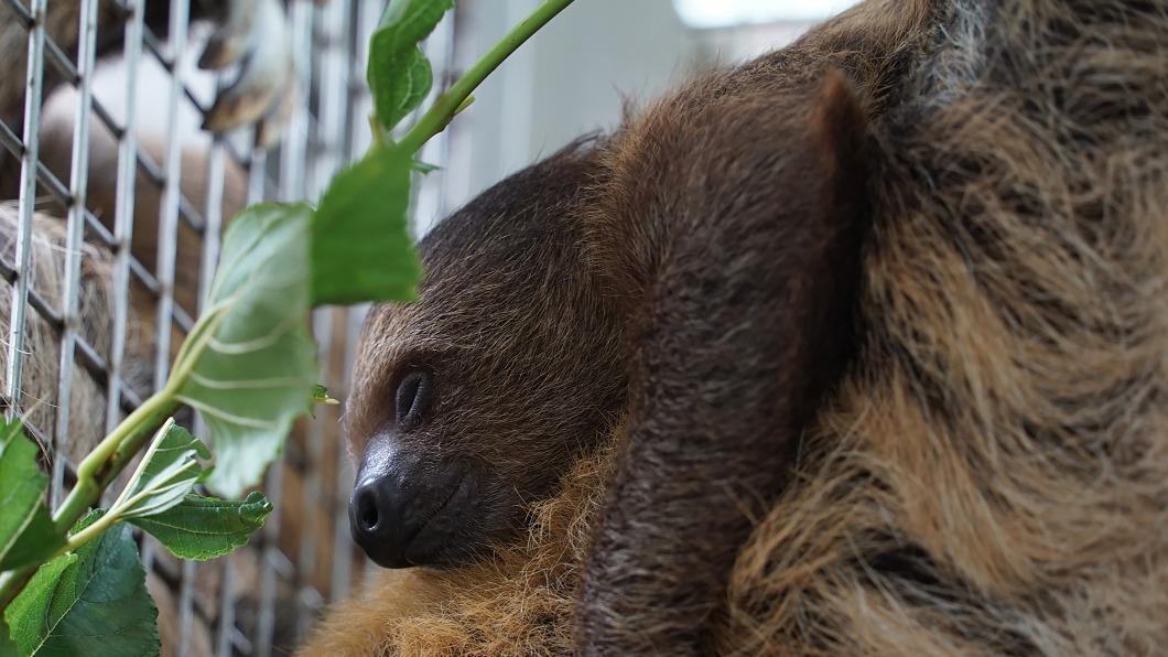 (圖/中央社) 北市動物園樹懶家族 寶寶「葉夏」滿4個月