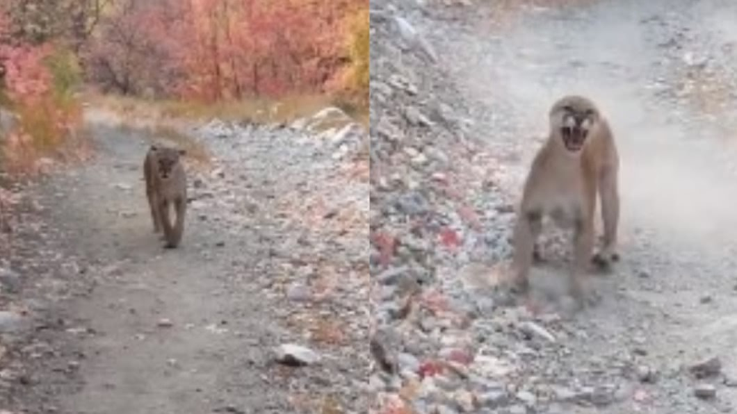 登山男遭美洲獅追殺。(圖/翻攝自Kunkyle z YouTube) 登山男遇美洲獅寶寶 母獅衝出「追殺6分鐘」驚險瞬間曝