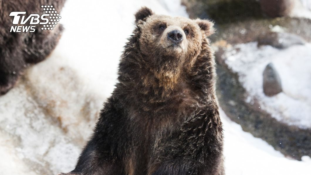 日本部分地區今年「熊出沒」頻繁,許多民眾遇襲受傷。(示意圖/shutterstock 達志影像) 疑食物短缺下山覓食 日頻傳「熊襲」事件釀1死