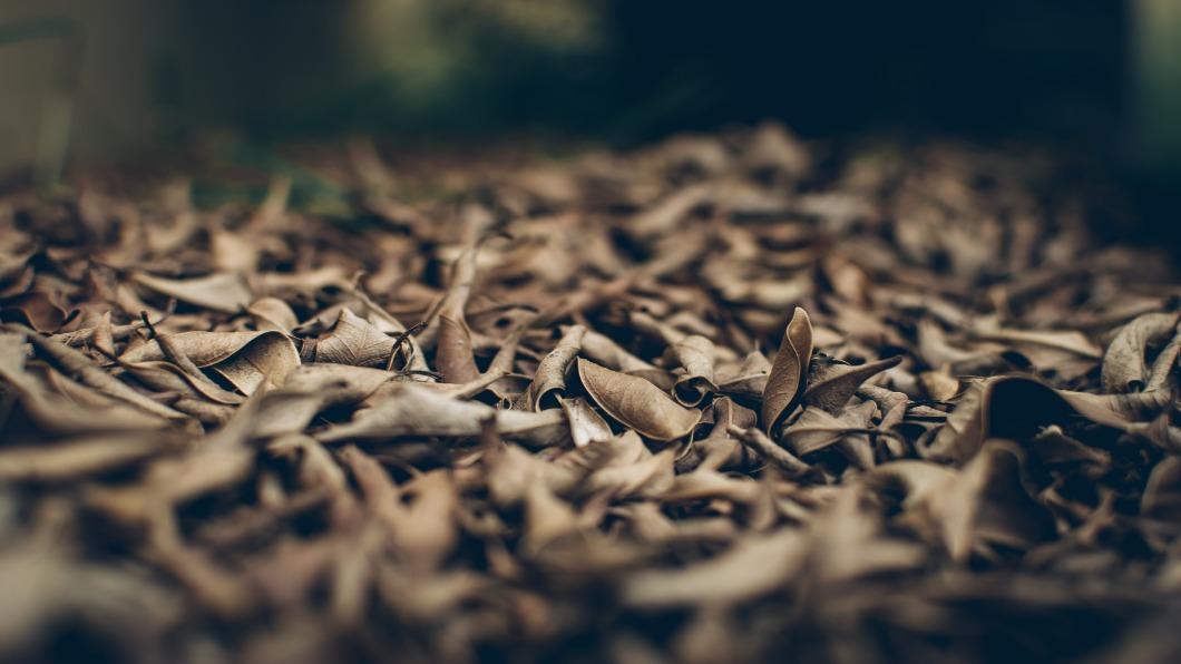 圖/達志影像 日本紅葉危機!「菌蠹蟲真菌」入侵.樹木枯死