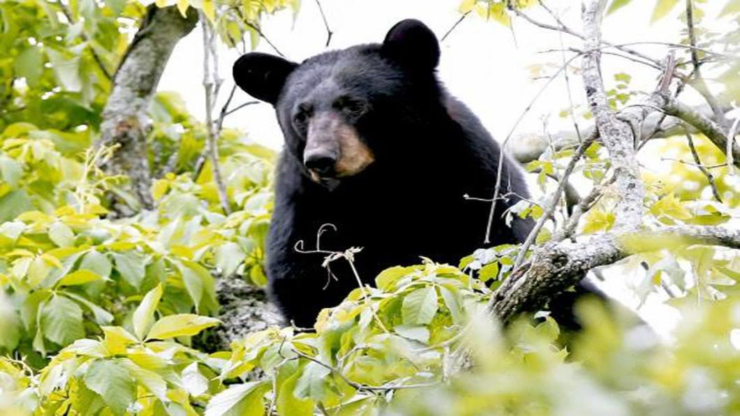 圖/達志影像路透 日本「熊危機」!新世代熊不怕人.主動攻擊