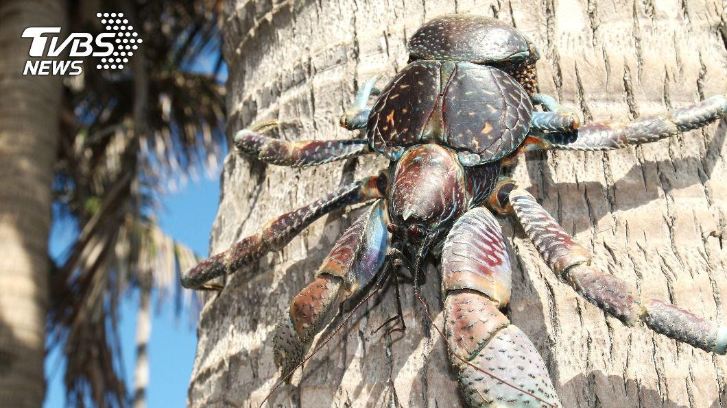 椰子蟹是現存最大型陸生甲殼動物。(示意圖/shutterstock達志影像) 10大熱搜奇異動物排行 日月潭「霸主」竟是牠