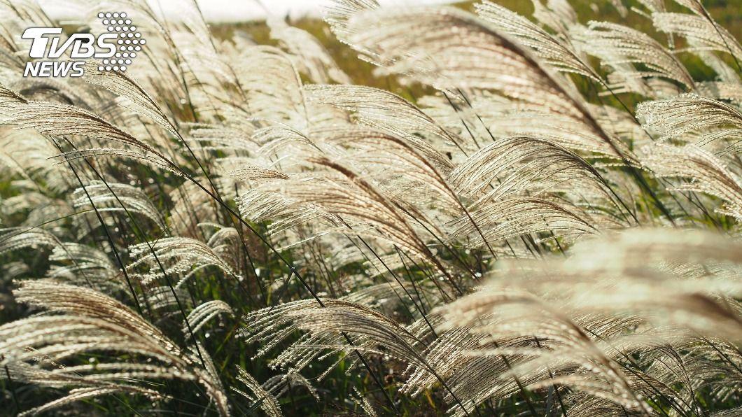 秋季是賞芒草的季節。(示意圖/shutterstock達志影像) 秋末賞芒草新去處 雙北3大必拍美景期間限定