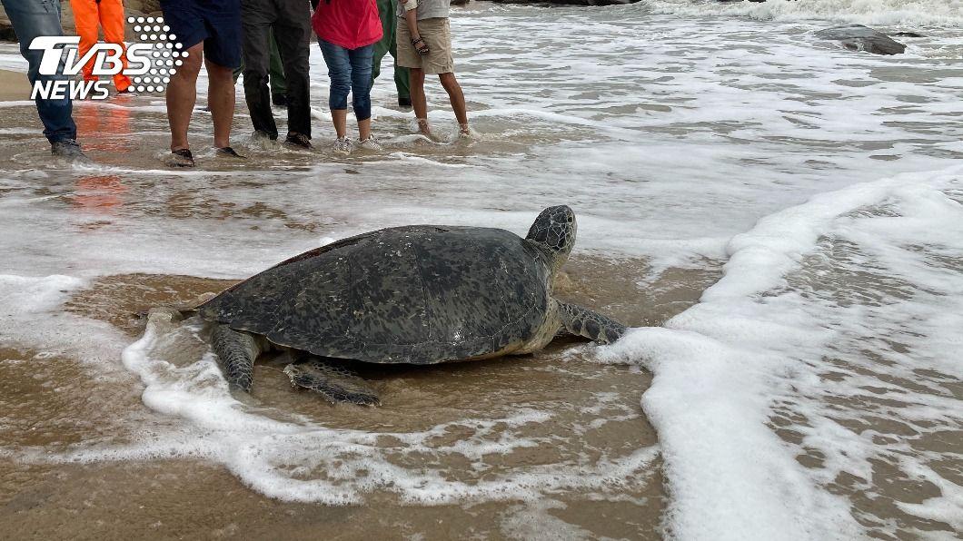 綠蠵龜經過治療康復後即將重回大海懷抱。(圖/中央社) 金門擱淺綠蠵龜恢復健康 野放重返大海懷抱