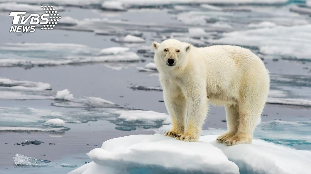 全球暖化導致冰川大量融化,北極熊棲地遭受威脅。(示意圖/shutterstock 達志影像) 北極熊群餓壞衝上街 圍攻垃圾車狂翻「廚餘」吃