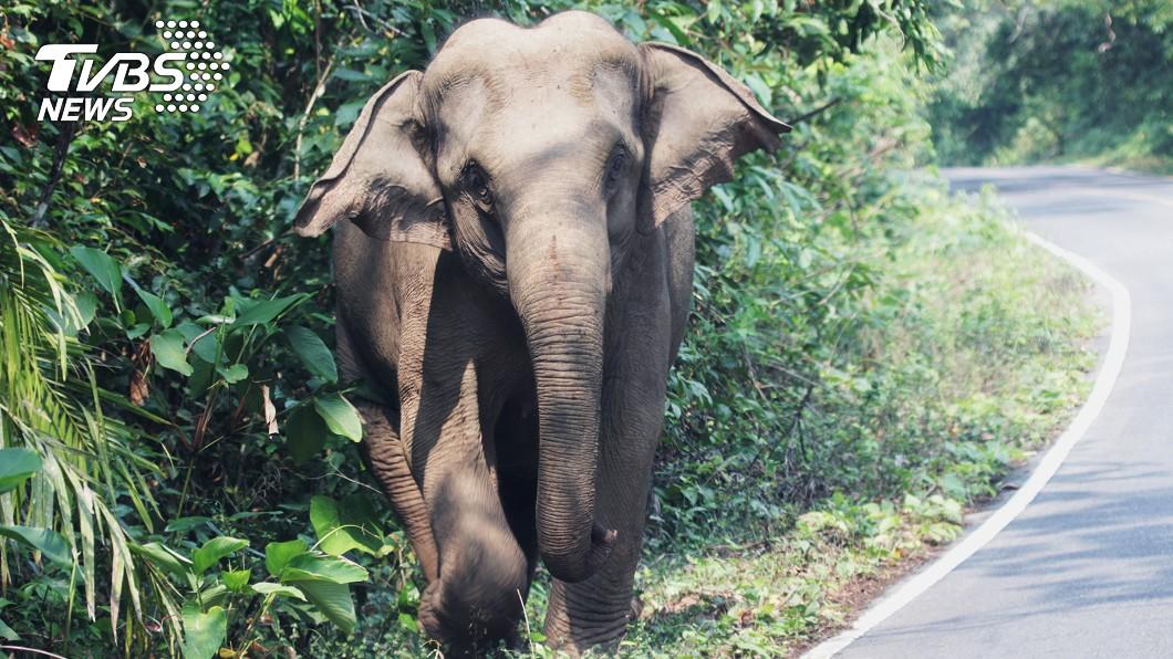 有30頭大象從從山上下來覓食,3天內殺了2人。(示意圖/shutterstock達志影像) 巨象踩爆撕肉!男絕望掙扎「身體慘裂2半」肉塊噴地
