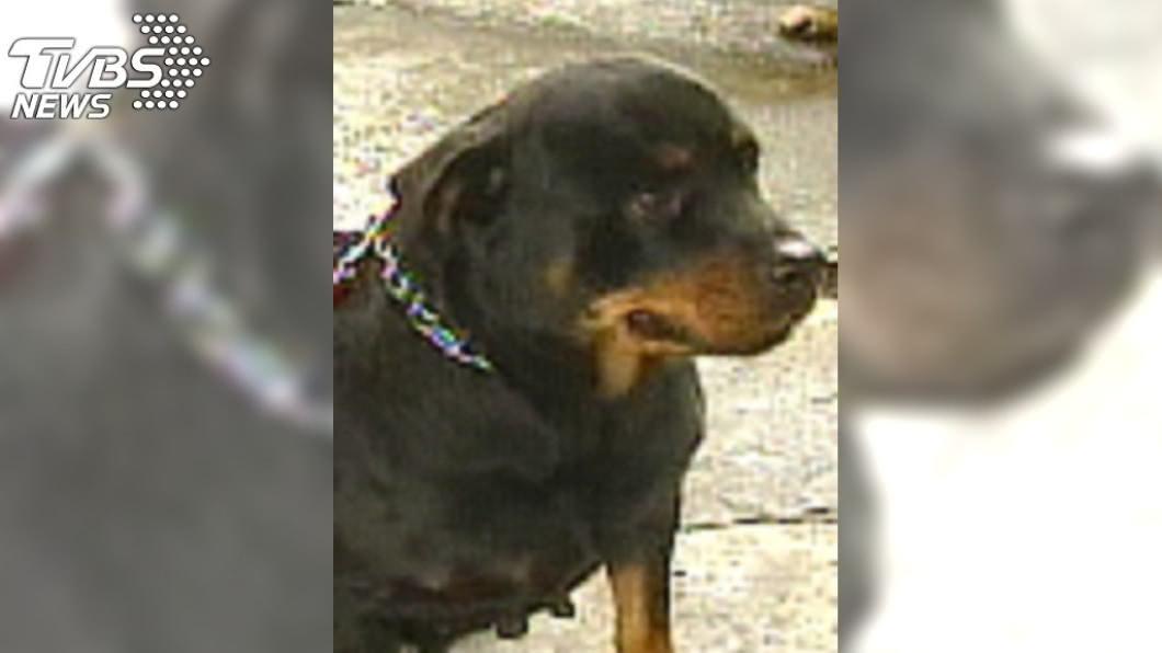 羅威納犬具有攻擊性。(與本事件人物無關,示意圖/TVBS資料畫面) 嬰遭羅威納犬狠咬 拖院子「埋屍」母目睹崩潰
