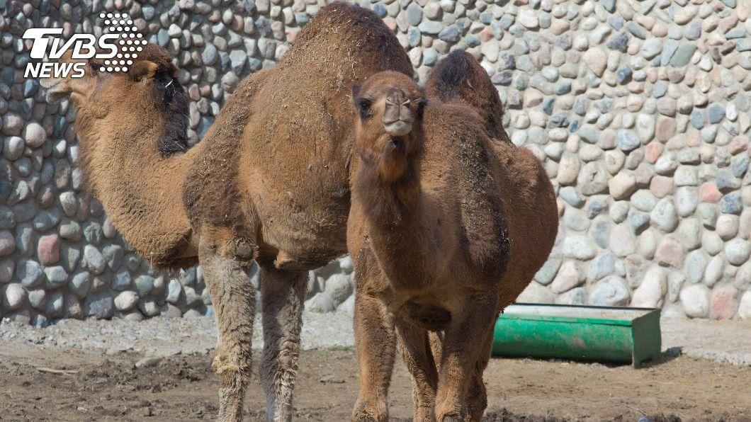駱駝體型龐大魁梧。(示意圖/shutterstock達志影像) 駱駝卡路中互毆 停車圍觀「雙峰戰場」秒噴2萬